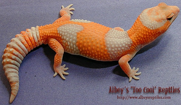 Halloween Mask Leopard Gecko.Future Projects Will Include Tremper Albinos Bred To My Finest