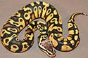 Pastel Specter/Yellow Belly?