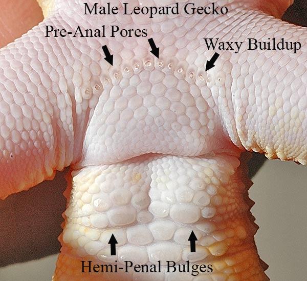 How to sex a leopard gecko pics 64