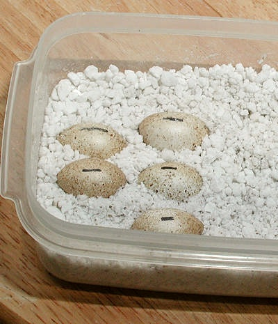 Albey's How To Incubate Leopard Gecko EggsLive Leopard Gecko Hatching